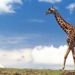 Giraffe free download