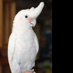 Goffins Cockatoo hd pics