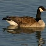 Goose pics