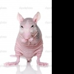 Hairless Rat free