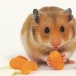 Hamster breed