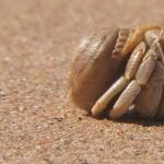 Hermit Crab hd wallpaper