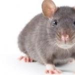 Medium Rat images