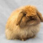 Mini Holland Lop (rabbit) wallpapers for desktop