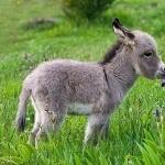 Miniature Donkey download wallpaper