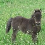 Miniature Horse download