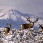 Mule Deer download