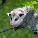 Opossum wallpaper