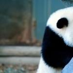 Pandas free