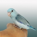 Parrotlet high definition photo