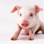 Pig free download