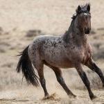 Quarter Horse X Appaloosa breed
