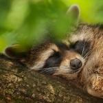 Raccoon 2016