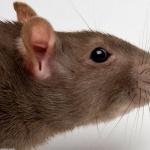Rat widescreen