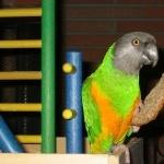 Senegal Parrot full hd
