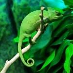 Veiled Chameleon hd wallpaper
