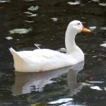 White Ducks hd pics