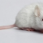 White Mouse hd wallpaper