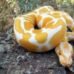 Yellow Anaconda desktop wallpaper
