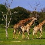 Giraffe wallpapers for desktop