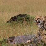 Cheetah 1080p