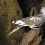 African Collared Dove desktop