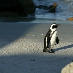 African Penguin high definition photo