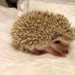 African Pygmy Hedgehog hd desktop