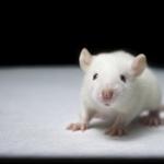 Albino Mouse full hd