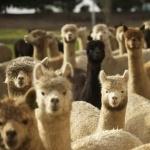 Alpaca hd pics