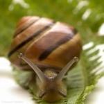 Aquatic Snail image