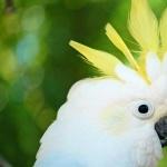 Cockatoo hd pics