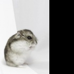 Dwarf Hamster wallpaper