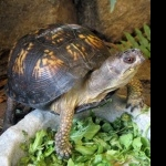 Eastern Box Turtle pics
