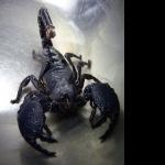 Emperor Scorpion wallpaper