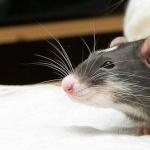 Fancy Rat full hd