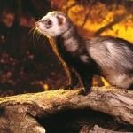 Ferret images