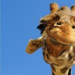Giraffe wallpapers hd