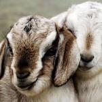 Goat hd pics