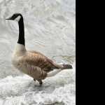Goose breed