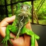 Green Iguana images