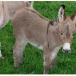 Miniature Donkey wallpapers for desktop
