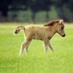 Miniature Horse high definition photo