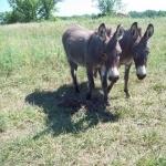 Miniature Mule 2016