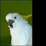 Moluccan Cockatoo download