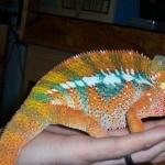 Panther Chameleon image