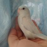 Parrotlet photo
