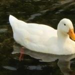 Pekin Duck image