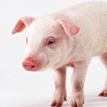 Pig hd wallpaper