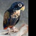 Pionus Parrot 2016